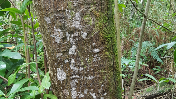 Moriori bark carvings in the Chatham Islands - PNG